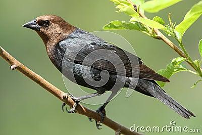 Hövdad brun cowbird