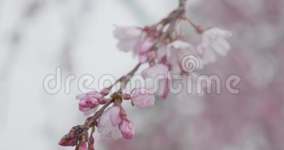 Hübsche rosa Sakura-Blumen öffnen sich während der Kirschblütensaison in Japan auf einem Ast stock video footage