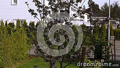 H?rlig sikt av den fr?mre g?rden av den privata tr?dg?rden Ursnyggt rosa och vitt blommande äppleträd på bakgrund lager videofilmer