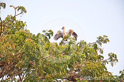 Habitat of Asian Openbill Storks