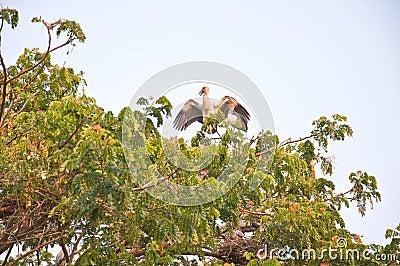 Habitat of Asian Openbill Storks