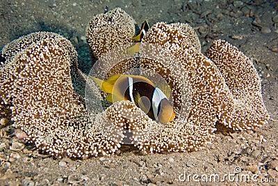 Haddon s anemone (stichodactyla haddoni) and anemo