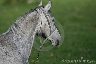 Haed Of Gray Horse