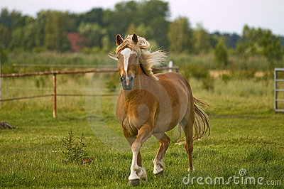 Haflinger troting across a meadow