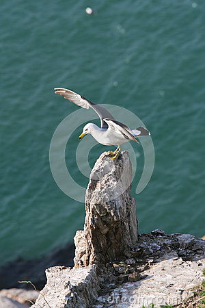 Free Hailu Island Black-tailed Gulls Stock Photos - 32961803