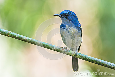 Hainan Blue Flycatcher, Bird