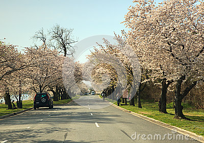 Hains Point Washington DC Lined with Cherry Trees Editorial Stock Image
