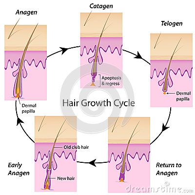 The cycle of hair grow...