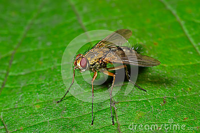 Haired fly 16