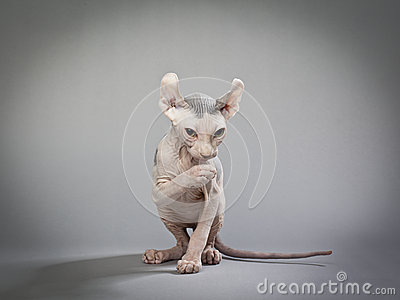 Hairless cat with wrinkles
