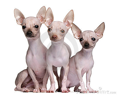 Hairless Chihuahuas, 5 and 7 months old