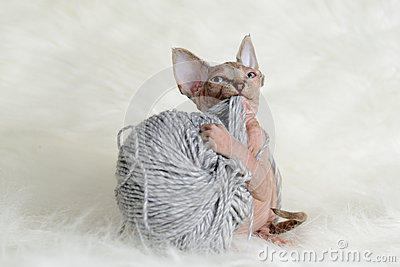 Hairless little kitten plays with a yarn