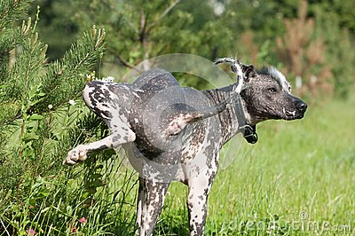 Hairless mexican dog pee