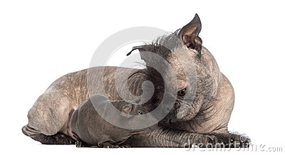 Hairless Mixed-breed dog, mix between a French bulldog and a Chinese crested dog, lying with a hairless guinea pig