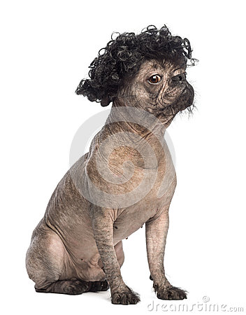 Hairless Mixed-breed dog, mix between a French bulldog and a Chinese crested dog, sitting, looking away