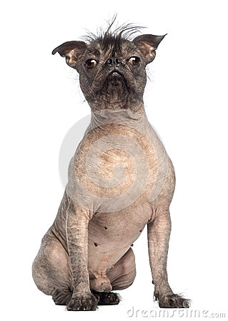 Hairless Mixed-breed dog, mix between a French bulldog and a Chinese crested dog, sitting and looking at the camera
