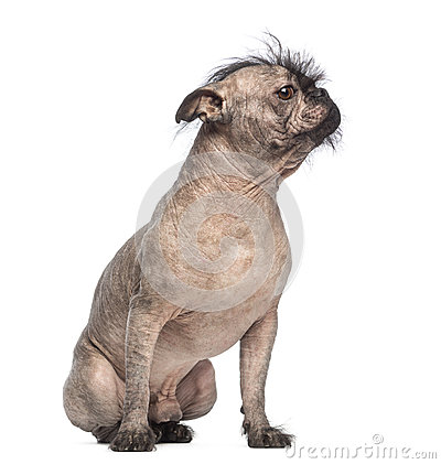 Hairless Mixed-breed dog, mix between a French bulldog and a Chinese crested dog, sitting and looking right