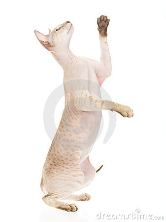 Hairless Peterbald standing on white background