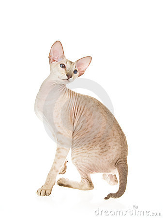 Hairless Peterbald on white background