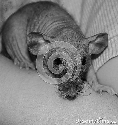 Hairless Rat