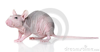 Hairless rat on a white
