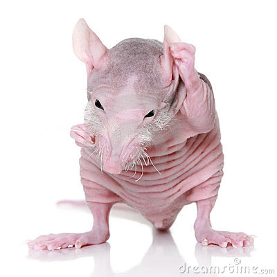 Hairless rat on a white background