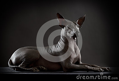 Hairless xoloitzcuintle dog on low key photo