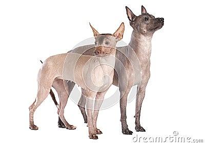 Hairless xoloitzcuintle dogs isolated on white