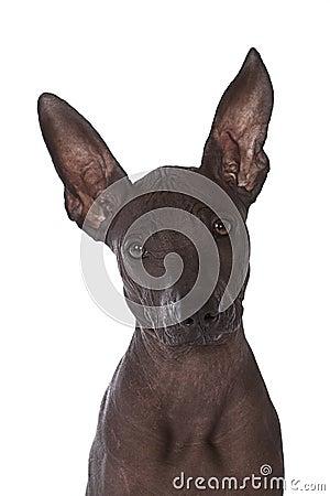 Hairless xoloitzcuintle puppy