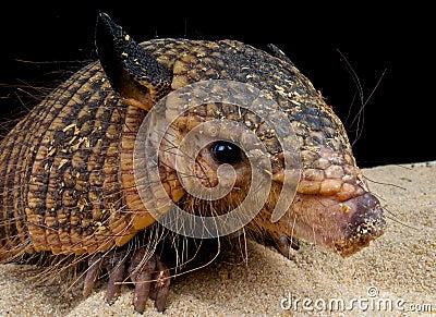 Hairy armadillo
