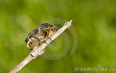 Hairy bug preparing to fly