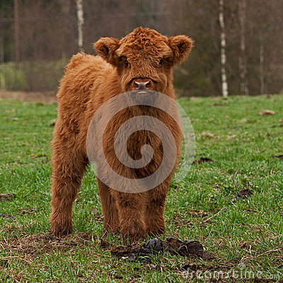 Free Hairy Cute Calf Of Highland Cattle In Sweden Royalty Free Stock Photos - 39762348