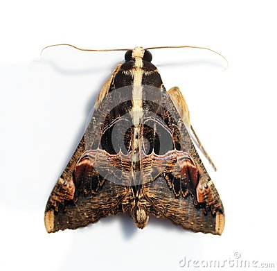 Hairy moth with large wings and serrated antennae