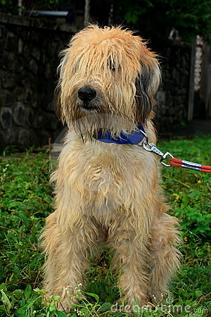 hairy sheep dog