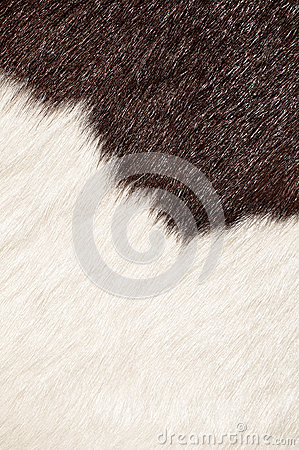 Hairy texture of cow