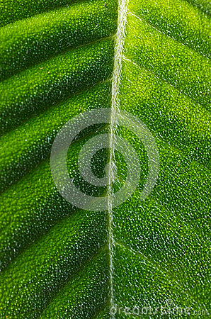 Hairy Tropical Leaf