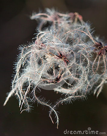 Hairy wildplant with white filaments