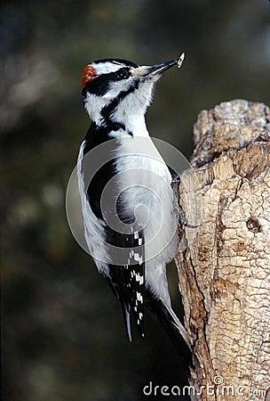 Hairy Woodpecker male (Picoides villosus)