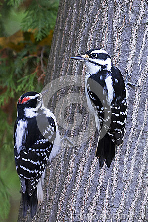 hairy woodpeckers male and female stock photo image