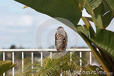 Halcón salvaje