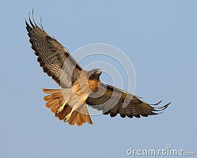 Halcón rojo altísimo de la cola