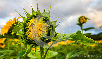 Half Bloomed Sunflower II Royalty Free Stock Image - Image: 25726806