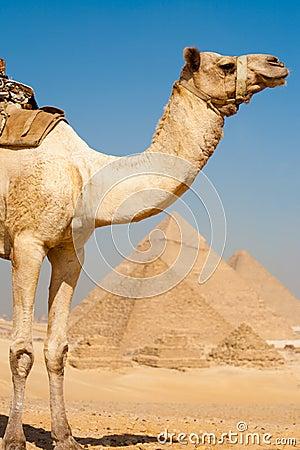 Half Camel Pyramids All Row