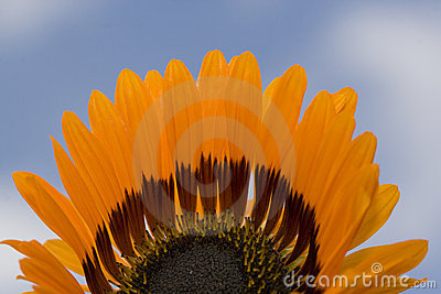 Half a flower showing with blue sky background
