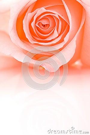 Half frame closeup pink rose
