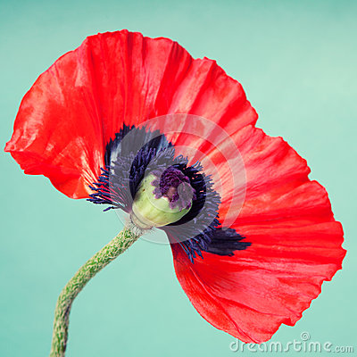 Half a red poppy flower