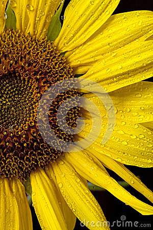 Half shot of sunflower.