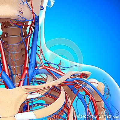 Half view of circulatory of throat and head