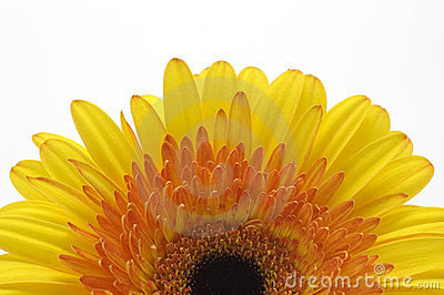 A half of yellow daisy