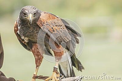 Haliastur sphenurus (ACCIPITRIDAE) Whistling Kite